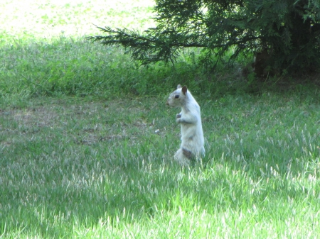 Bianca the White Squirrel listening - White squirrel, grass, Bianca, listening