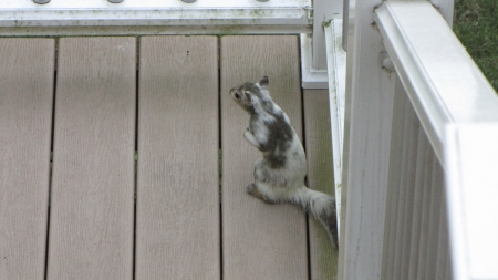 Bianca the White Squirrel on our deck - White squirrel, sitting, deck, Bianca