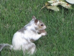 Bianca the White Squirrel eating nut in grass