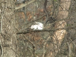 Bianca the White Squirrel in tree