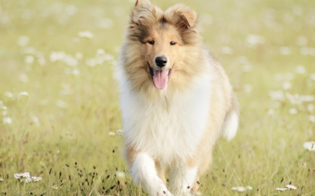 Lassie come home - love, dogs, collies, animals, special, beautiful, sagacity, field, stamina