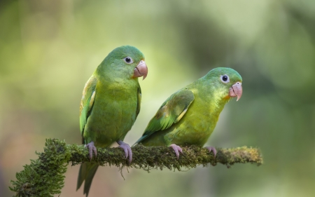 Parrots - bokeh, green, parrot, bird, pasare, couple
