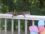 Squirrel Laid Out on Deck Railing