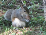 Young Gray Squirrel Eating Big Nut