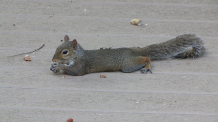 This is the Life - eating nut, deck, young gray squirrel, laid out