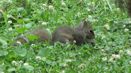 Baby Gray Squirrel - baby, green grass, eating, gray squirrel