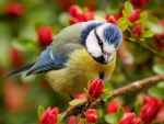 Blue Tit on Flowering Branches