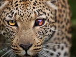 leopard up close
