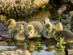 Cute Little Goslings Drinking Water