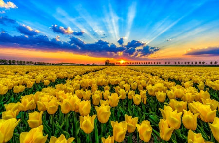 Tulips field at sunset - Fields & Nature Background Wallpapers on ...