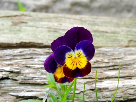 Two Little Pansies Sitting By A Log
