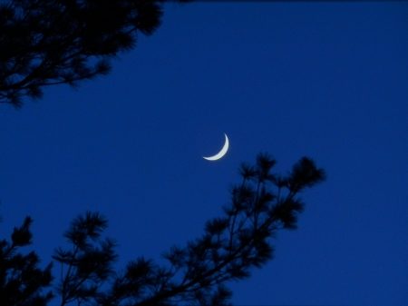 Moon Beyond The Pines - Moon, Space, Photography, Pine Tree, Sky