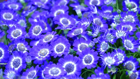 Cineraria - cineraria, flower, nature, blue