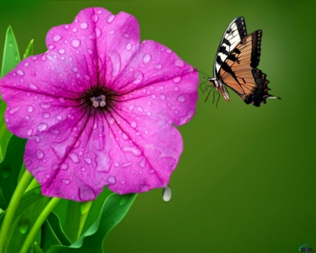 Butterfly on Flower Petunia - butterfly, petunia, flowers, drops, insects, animal