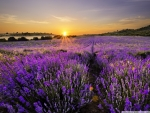 Sunrise in the field of lavander