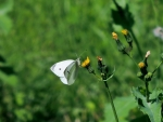 Cabbage White On A Dandelion