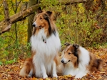 Collies in the countryside