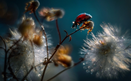 Ladybug - seeds, insect, flowers, raindrops