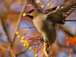 Waxwing on the Branch