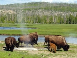 Buffaloes Near A Hot Spring In Yellowstone