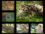 BIG CATS MIX