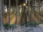 Sunbeam Forest Splendor