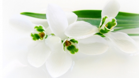 Snowdrops so White - floral, blossoms, Firefox Persona theme, snowdrops, green, flowers, spring, white