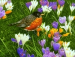 Spring Robin with Crocuses