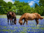 Horses Grazing in Texas