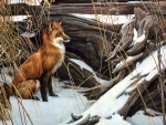 Wily and Wary - Fox F