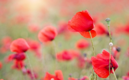 Poppies - flowers, nature, poppies, meadow