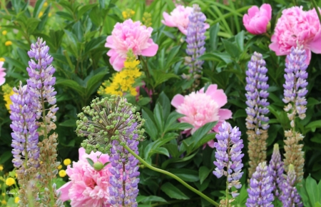 Lupines and Peonies - Peonie, Lupine, pretty, Flower