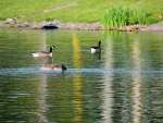Geese On Little Lake