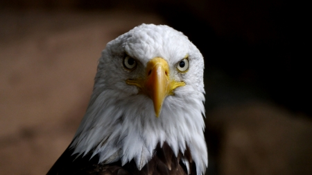 Bald Eagle Frontal View F - animal, raptor, bird, avian, wildlife, photography, Bald Eagle, wide screen, beautiful, photo