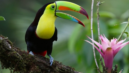 Toucan Bird - animal, cute, toucan, bird