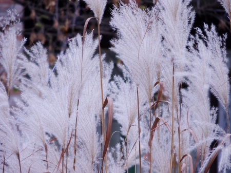 The Beauty Of White Grass - Ornamental Grass, Summer, White, Photography, Pony Tail Grass, Nature