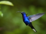 blue color hummingbird