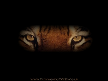 tigers eyes - up, beautifuk, close, tiger, eyes