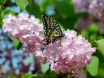 Butterfly on Pink Flowers