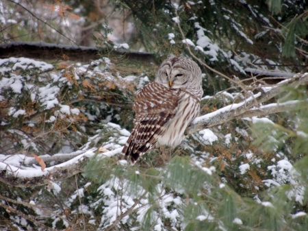 Cute Little Owl - Snow, Winter, Barred Owl, Photography, Bird, Tree