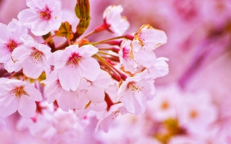 Cherry Blossom in Spring - pink, love four seasons, photography, flowers, spring, sakura, nature