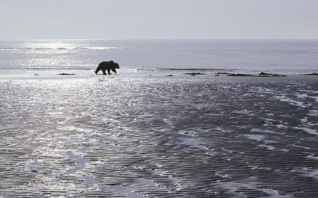 wondering bear - ocean, bear, beach, sand