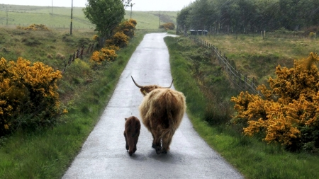Wanderers - cow, calf, landscape, road, countryside