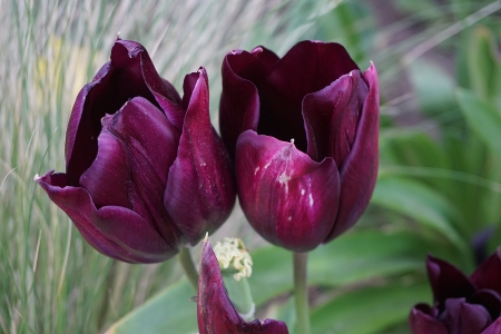 Pair of Spring Tulips - Flowers, Spring, Nature, Tulips