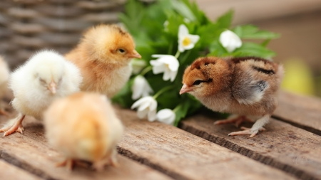 Spring Chicks - Easter, chickens, flowers, boards, chicks, spring