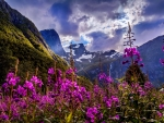 Purple flowers in Norway