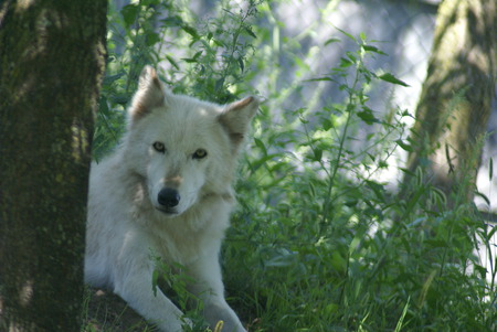 Wolf - wolves, other, animals, wild life