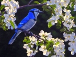 Blue Jay & Apple Blossoms