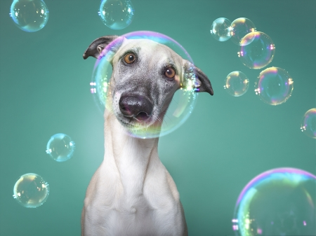 Little soap star - bubble, caine, animal, funny, face, wieselblitz, elke vogelsang, white, dog, blue
