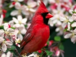 beautiful cardinal